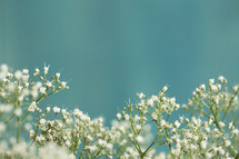 closeup of little white spring flowers.