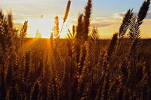 a field of golden wheat