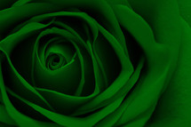 green rose closeup