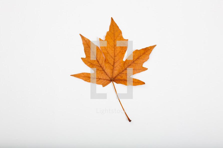 fall leaf on a white background