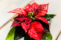 snow on poinsettia