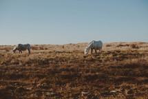 grazing horses eating winter grass