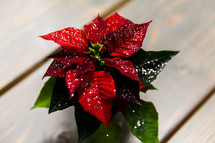 snow on a poinsettia