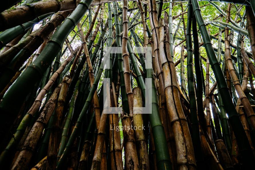bamboo in a jungle