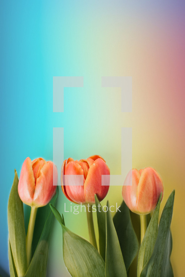 Tulips on a rainbow colored background