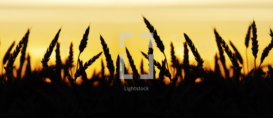 Wheat field silhouette at sunset.