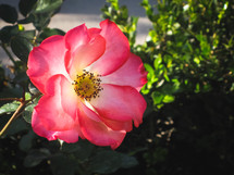a pink knock out rose