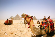 Camels and pyramids in Egypt.
