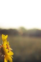 A sunflower at sunset