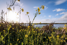 mustard flowers by a shore