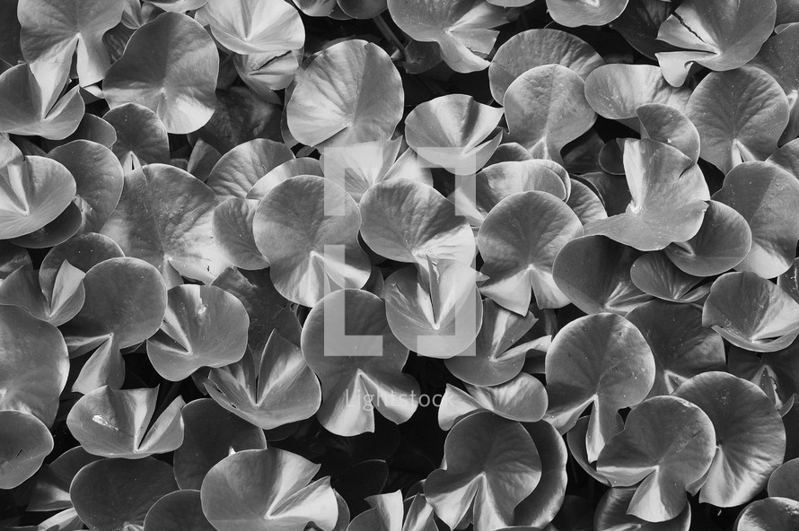 Lily pads leaves in black and white