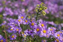 Spring time purple daisy wild flowers