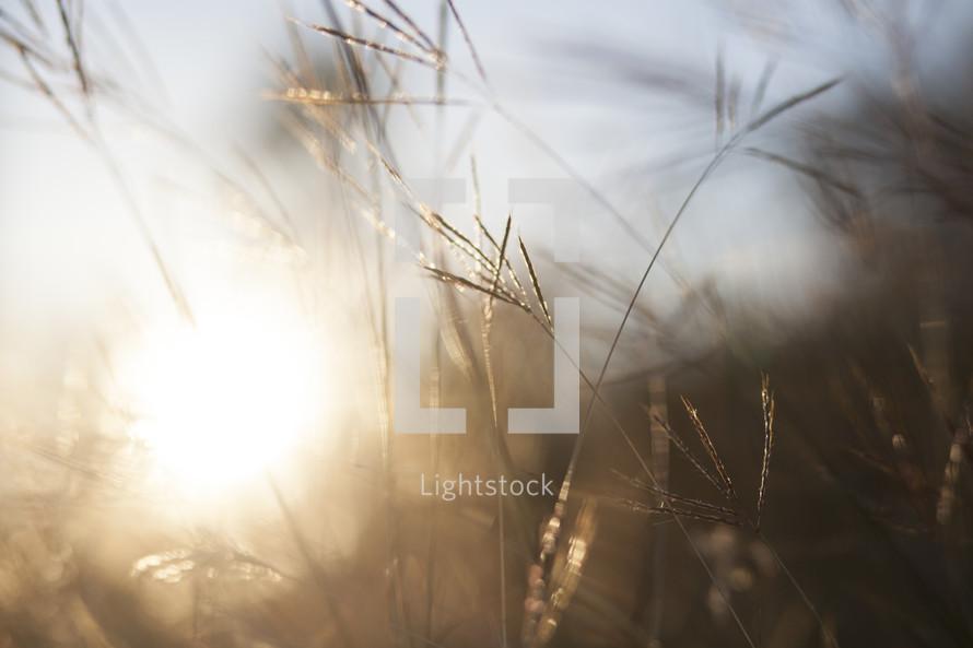 sunlight through tall grass