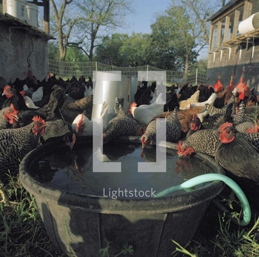 Chickens & Roosters drinking water