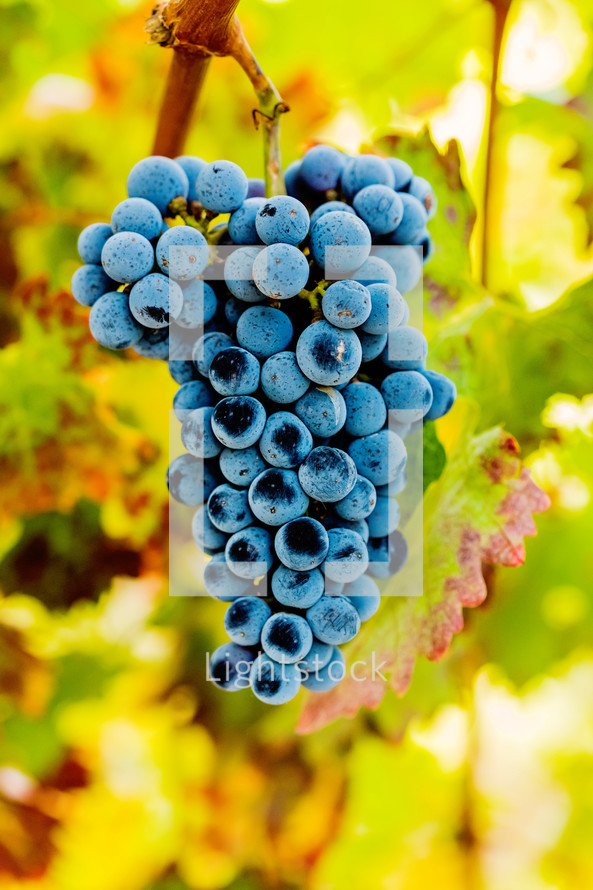 A bunch of grapes hanging from a grapevine.