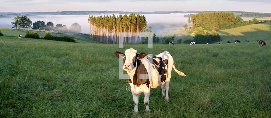 cows on a grassy hillside
