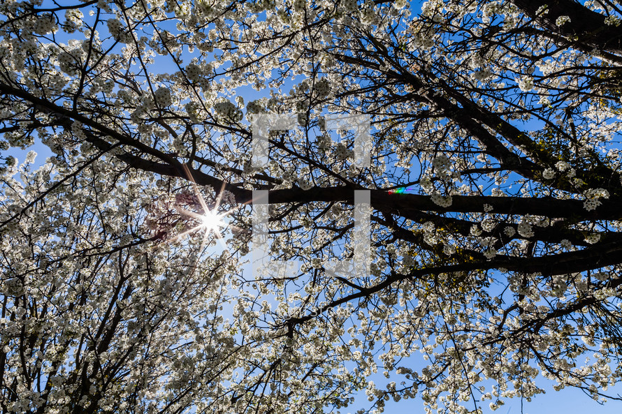Tree blooming in the Spring sun flare cherry blossom