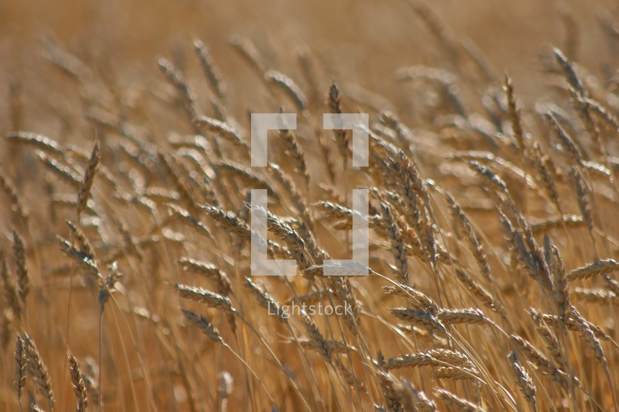 Dry wheat field