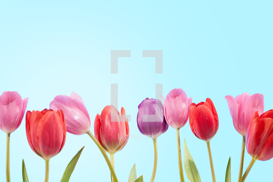 Colorful tulips under a bright blue sky.