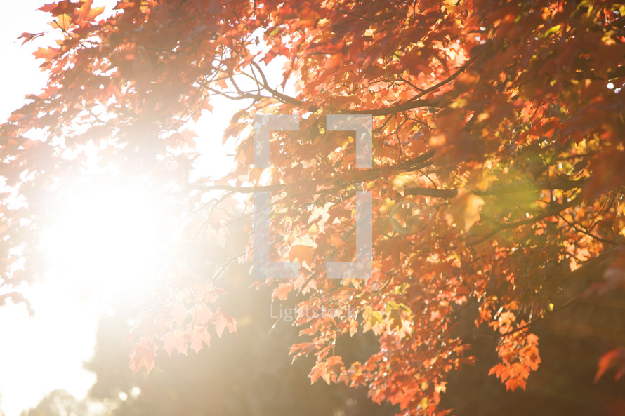sunlight and fall leaves on a tree