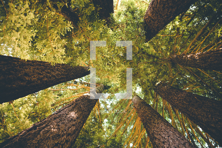 Redwood Tees | Growth | Strength | Looking Up | Perspective | Strength | Landscape | Nature | Summer Camp | Retreat