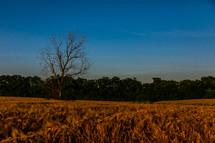 a bare tree in a wheat field