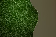 Close up of green leaf with veins/