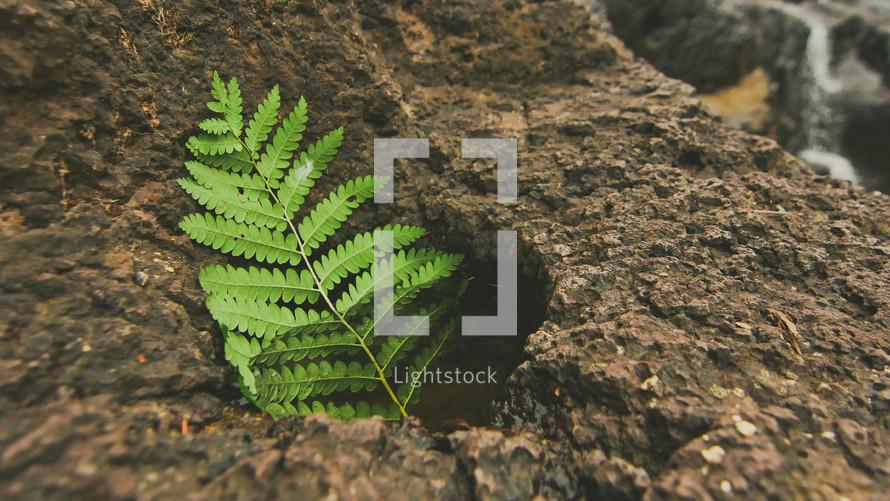 fern leaf on a rock
