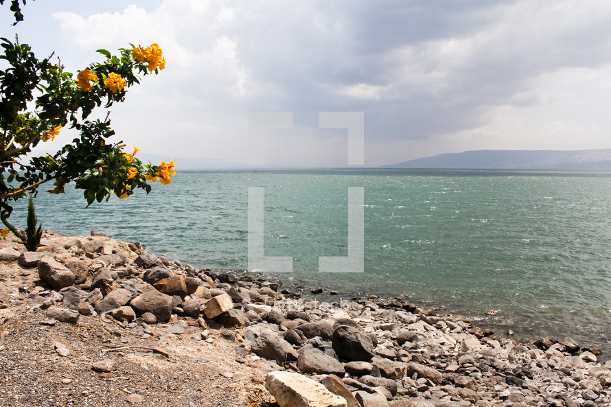 The Sea of Galilee with yellow flowers in the foreground.