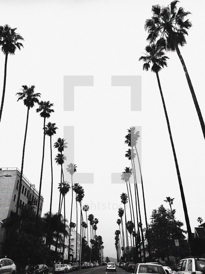 tall palm trees lining a street