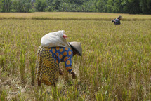 Woman harvesting a field of rice in Indonesia