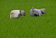 women working in the fields in Indonesia. Rice, harvest, food, seed, crop, green.