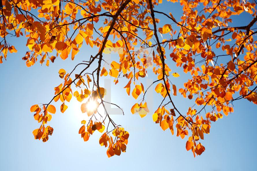 autumn poplar leaves