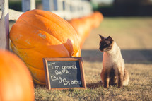 A cat standing in front of pumpkins and a sign that reads I'm going to be a big brother