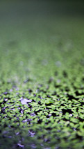duckweed on pond water