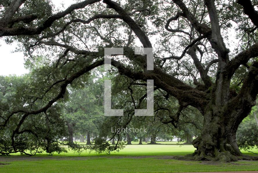 Large old Oak tree set in rolling green lawns