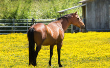 brown horse in a field of yellow flowers