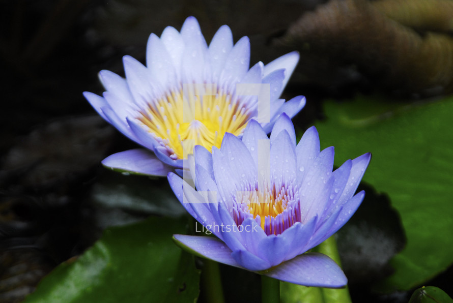 Blue flowers blooming on a lily pad.