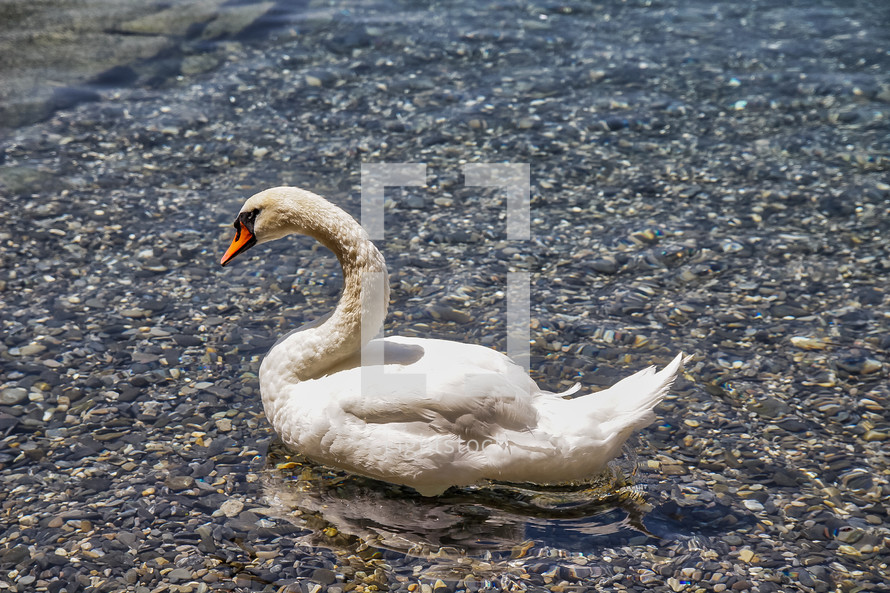 swan padding in water