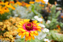 bee on a yellow and pink flower