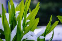 snow on spring flowers