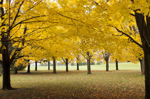 yellow Autumn trees