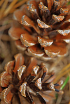 Two pine cones, closeup.