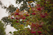 red berries on a fall tree