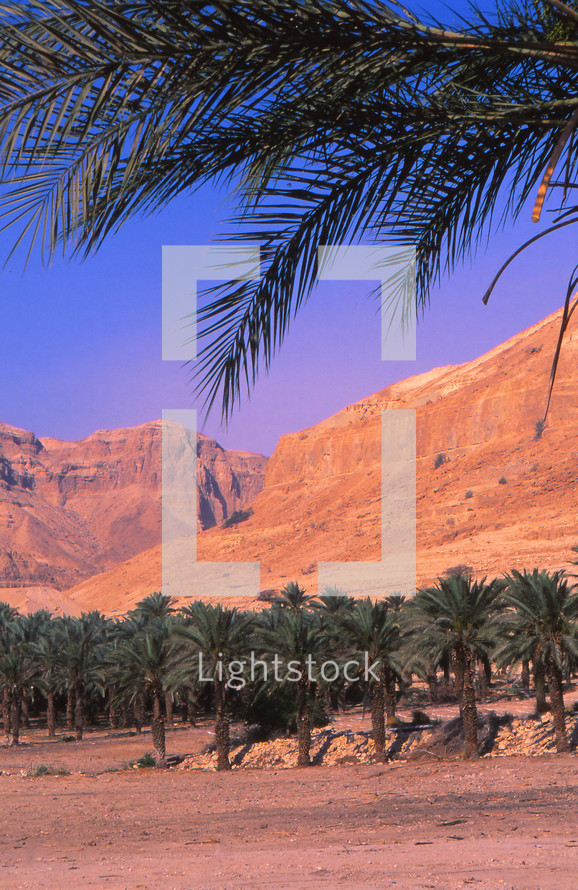 Palm trees in a desert