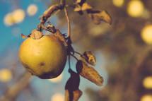 A apple on a tree.