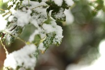 snow on green leaves
