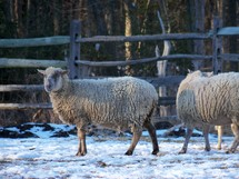 sheep in the snow graze together on a farm in Virginia