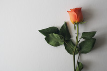 orange rose on a white background