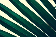 leaves of a palm tree, palm fronds